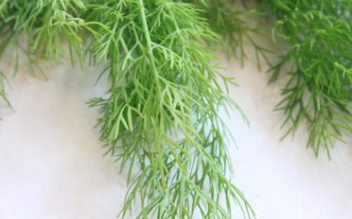 Picture of: Fresh Dill leaves