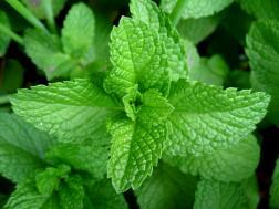 Picture of: Mint leaves